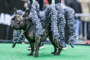 Dog dressed up as a tarantula during the Halloween Parade for Dogs at Tompkins Square Park in New York
