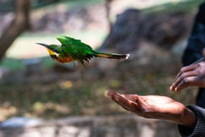 A Cinnamon-Chested Bee-Eater is released after being ringed at a bird-ringing station at the National Museum of Kenya, in Nairobi. The bird-ringing at the National Museum of Kenya started around 20 years ago to monitor bird population trends of urban birds in Nairobi.