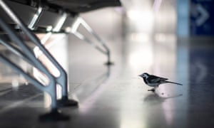 A pied wagtail walks across a deserted arrivals hall in Terminal 2 at Heathrow airport in London.
