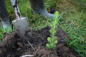 Planting a sapling.