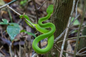 A yellow-lipped green pit viper snake in Thailand