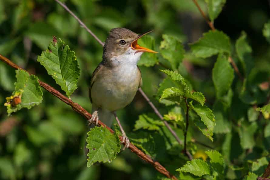 The marsh warbler is a summer visitor mainly confined to parts of Worcestershire and south-east England, especially Kent