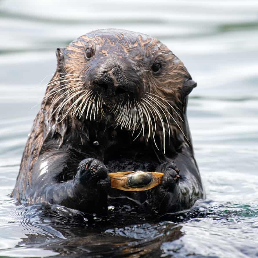 'When sea otters are look for clams to eat, they dig in the seagrass beds, leaving holes behind.'