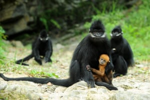 Endangered Francois' langurs monkeys, at the Mayang River national nature reserve in Yanhe Tujia, Guizhou, China