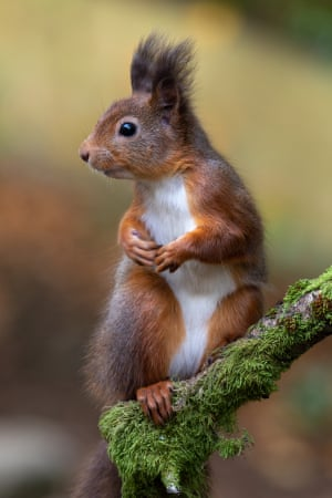 Red squirrel sitting up on a branch