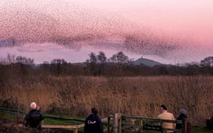 Starlings forming murmurations at RSPB Ham Wall nature reserve, Somerset.