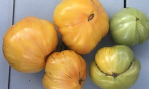 Two green and three yellow tomatoes