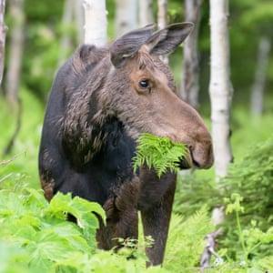 Female moose eating lunch.