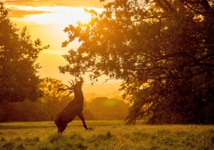 In the early morning September light a stag reaches for leaves off a tree in Ripon, North Yorkshire.