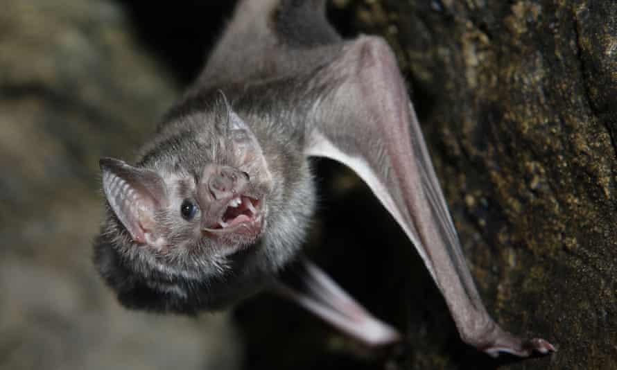 A vampire bat baring its fangs