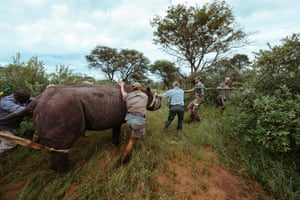 A capture team move an eastern black rhino towards a transport crate at Thaba Tholo game ranch near Thabazimbi in South Africa