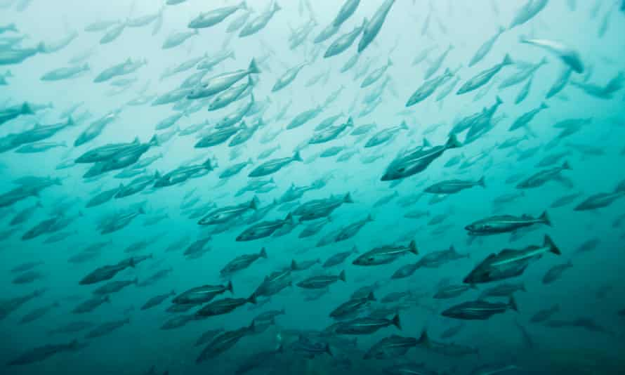 A school of cod in Norwegian waters