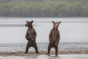 The brothers by Marco Urso, Italy'Millions of salmon spawn each year at Kuril Lake in the southern part of the Kamchatka Peninsula, Russia, attracting large numbers of brown bears. Marco noticed how curious these two brown bears were and was able to capture the moment when they both stood up on their hind legs to watch what he was doing. The rain falling onto the lake added an extra atmosphere to the scene.'