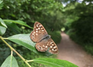 Female speckled wood