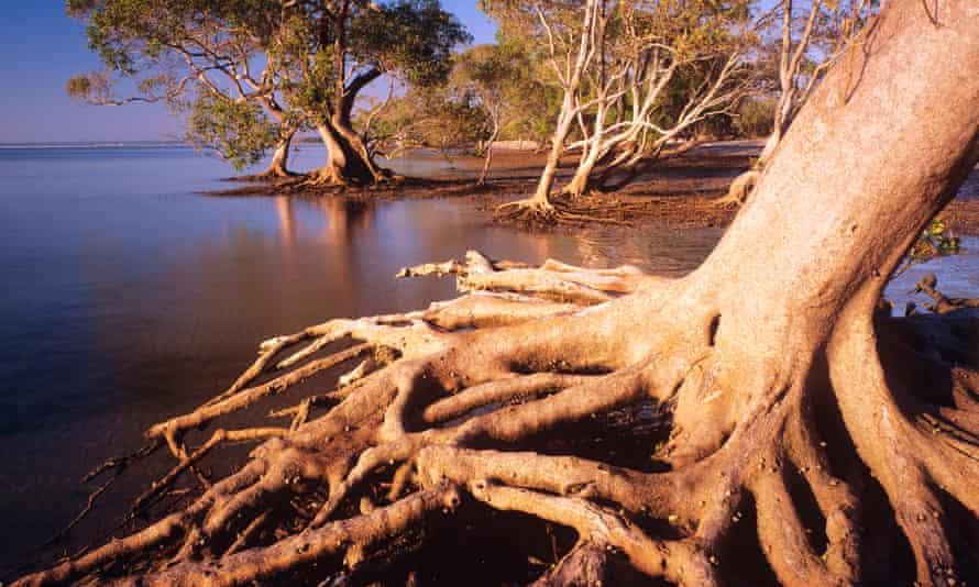 Grey mangrove in the estuarine wetland in the Moreton Bay marine park and Ramsar wetland.