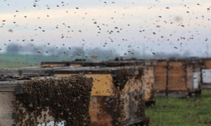 In 2015, poachers stole more than 1,700 hives – and those are just the thefts that were reported