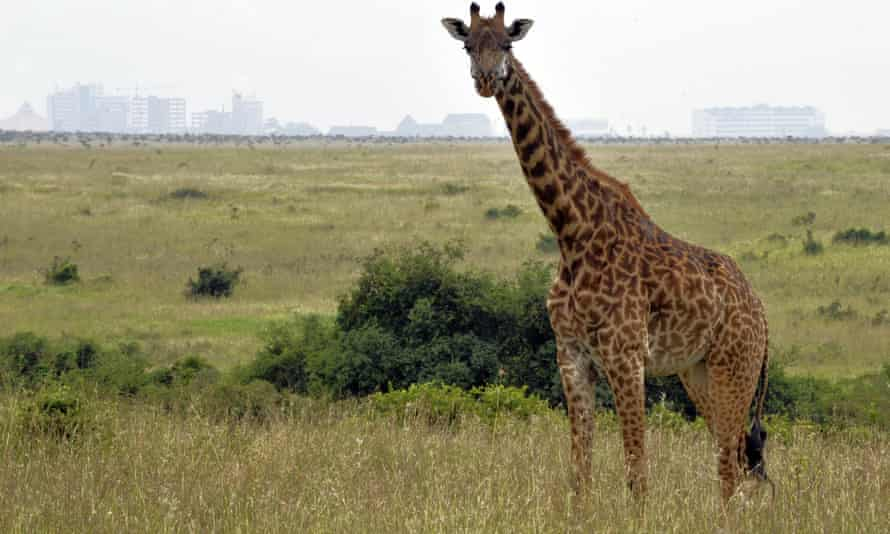 A new railway line is to be built through Nairobi national park.