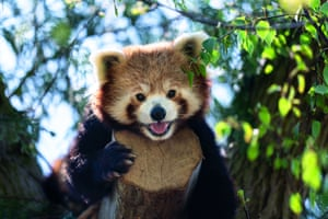 Undated handout photo issued by Marwell Zoo showing a male red panda, Peter, who arrived last year at Marwell Zoo, Winchester.
