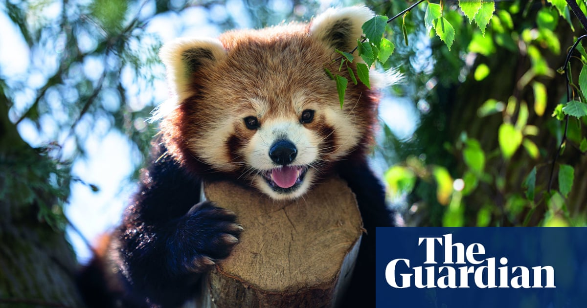 Red pandas are actually two separate species, study finds