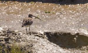 A curlew (Numenius arquata) on tidal mud banks
