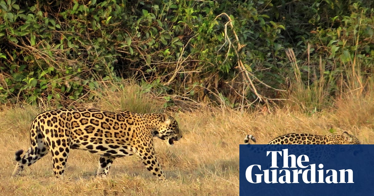 Jaguars could be reintroduced in US south-west, study says