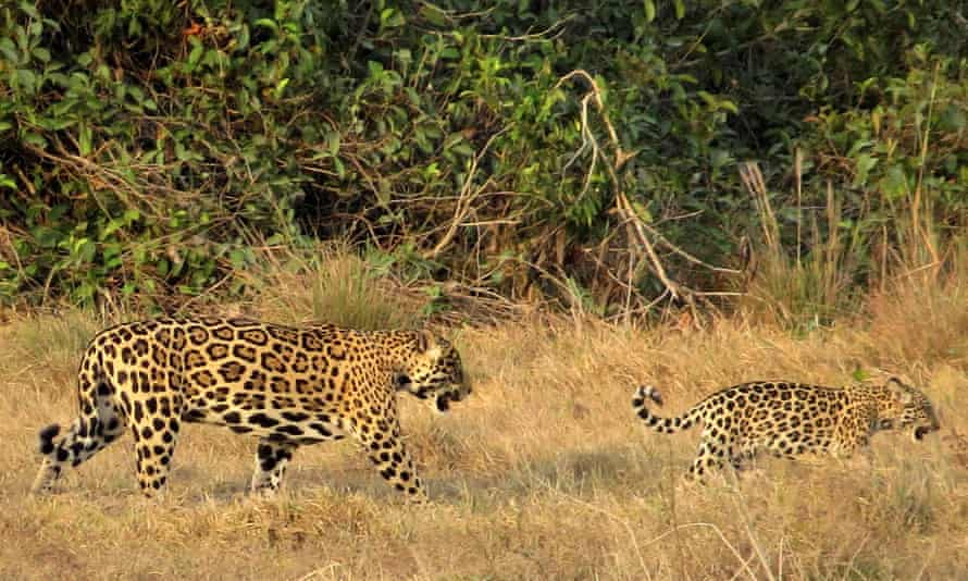 The authors say an area of more than 31,800 sq miles could support from 90 to 150 adult jaguars, a population that could be viable for at least 100 years. The last known jaguar in the region was hunted in 1964.