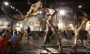 A woolly mammoth skeleton on display.