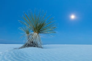 A yucca plant at moonrise in the sand of White Sand National Monument in Alamogordo, New Mexico. All photographs David Clapp/Barcroft Images