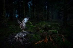 Bird of prey and carcass in dark wood