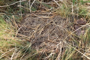 The nest of a narrow-headed ant colony in a south Devon field, its last remaining site in England.