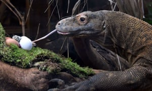 Ganas, London zoo's komodo dragon, tucking in to some eggs.