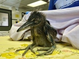 California, USA rescued black-crowned night heron is shown at the International Bird Rescue in Fairfield. An animal rescue group is asking for help caring for dozens of baby snowy egrets and black-crowned night herons left homeless last week after a tree fell in downtown Oakland.