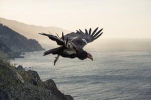 A California condor takes off along the Big Sur Coast of California.