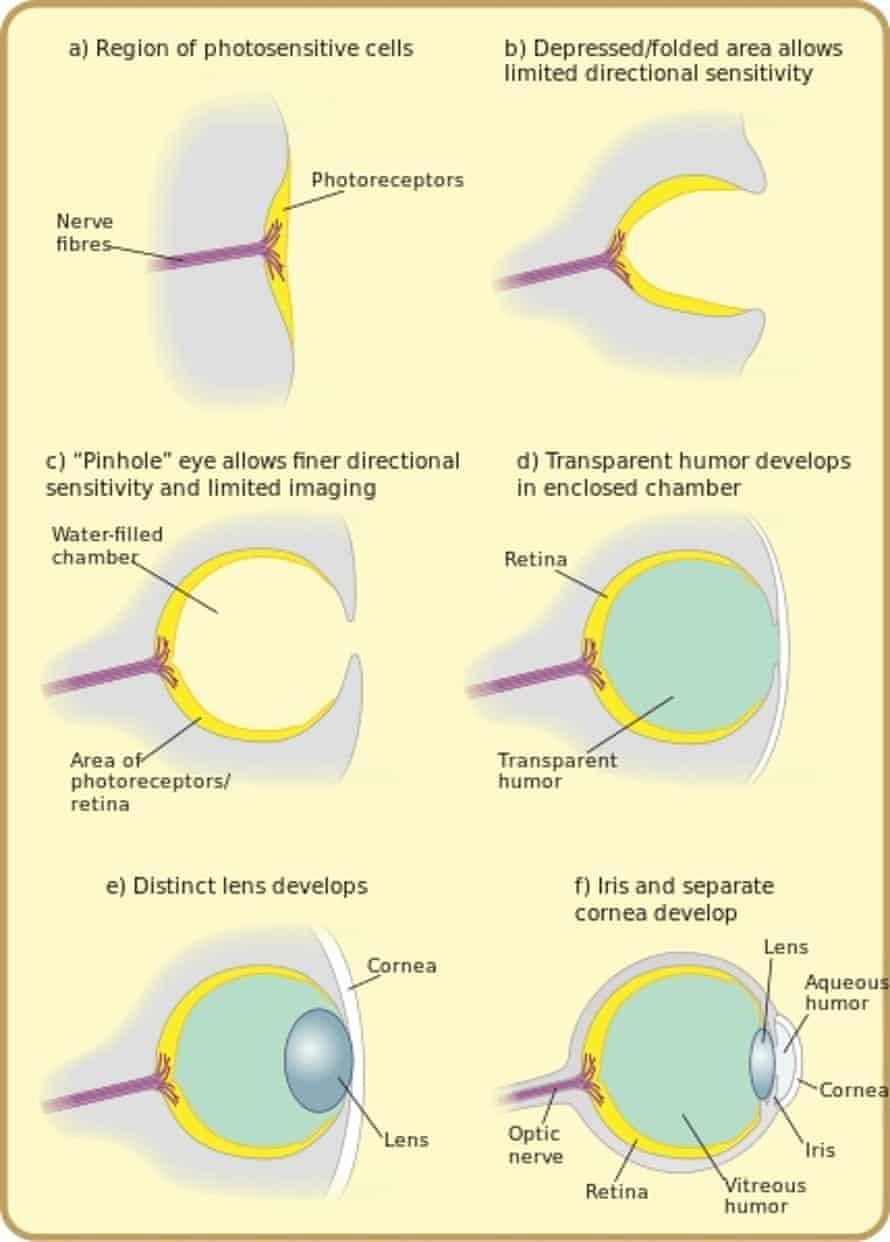 Diagram of eye evolution.