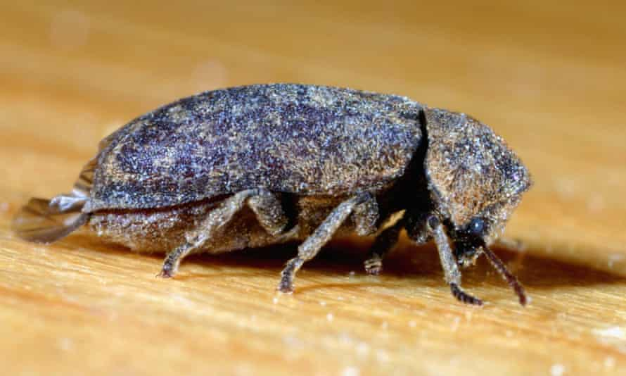 Persistent and ultimately powerful … a deathwatch beetle