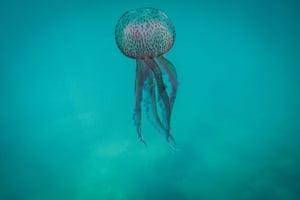 A pelagia noctiluca (Medusa luminosa) - or mauve stinger - jellyfish drifts off the coast of north Lebanon.