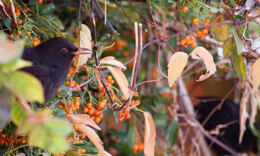 A blackbird feeds on berries in a hedge.