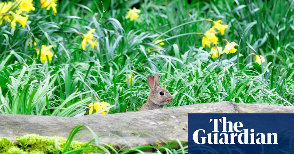 Country diary: rabbits pose for a classic Easter scene
