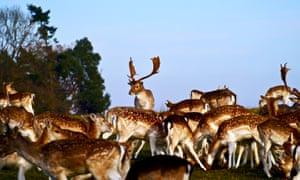 A herd of fallow deer