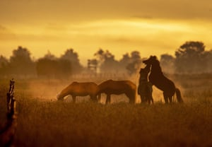Icelandic horses play on a stud farm as the sun rises in Wehrheim, Germany