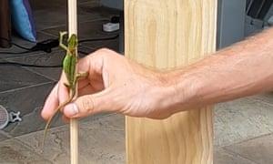 A dwarf chameleon climbs a dowel.