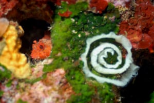 Dwarf scorpionfish and nudibranch eggs, in the Mediterranean, 2006, taken while aboard the Rainbow Warrior