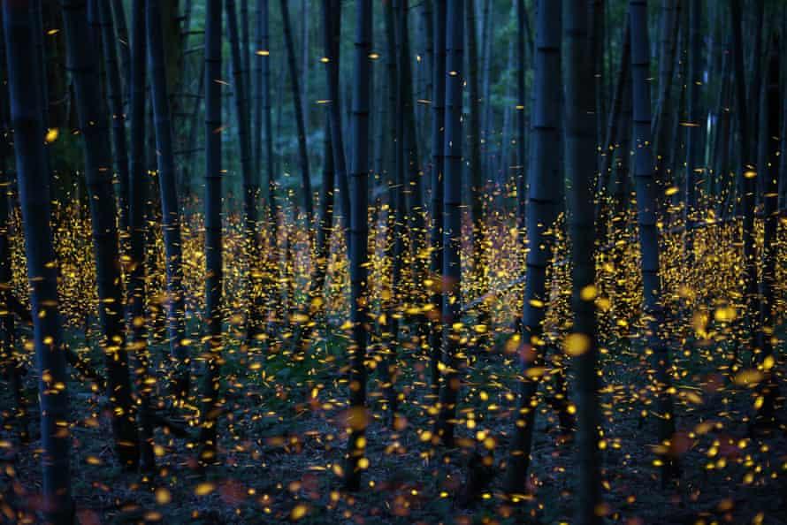 Thousands of dancing fireflies in Japan.