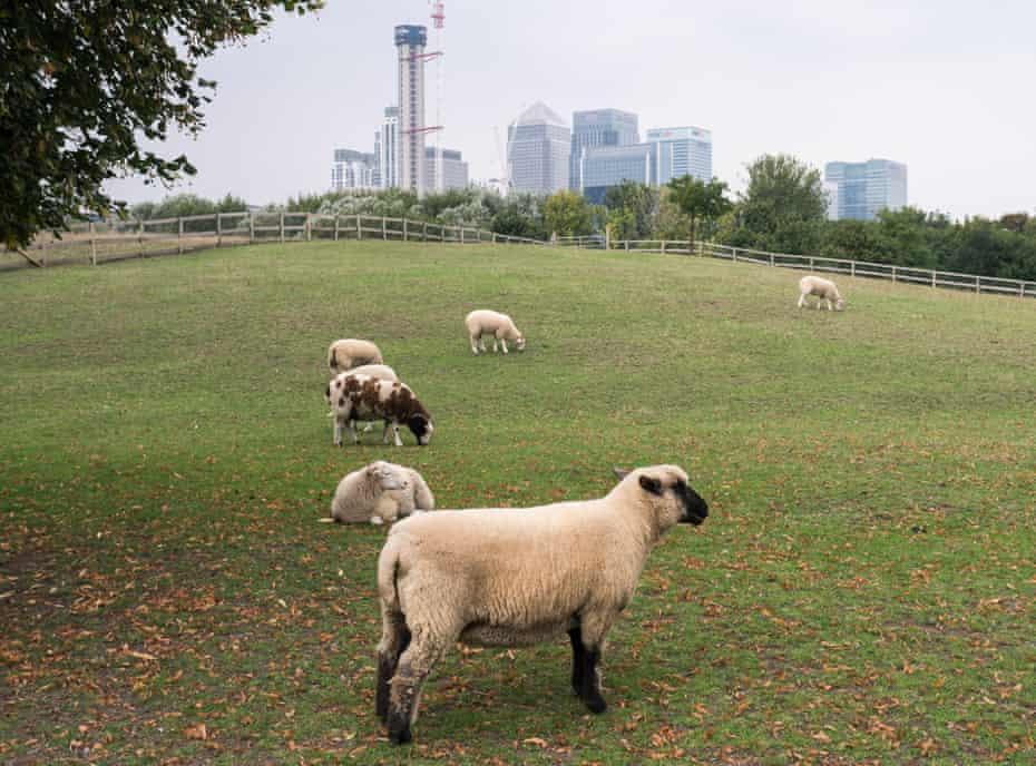 Sheep graze at Mudchute Farm: Isle of Dogs, UK.