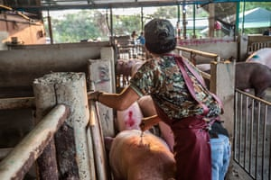 A slaughterhouse worker prods a pig in a Thai slaughterhouse.