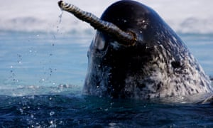 The spiral horn of the narwhal was once taken as evidence of unicorns. Here, the Arctic cetacean is coming up for a breath after feeding.