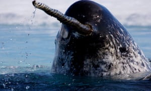 Aerials of a narwhal