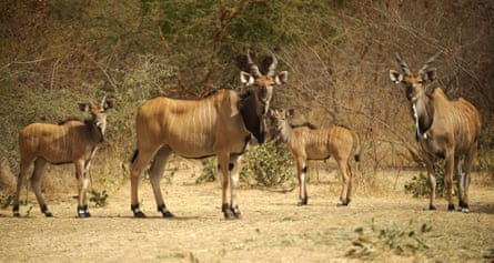 Africa's giant eland antelope, previously thought to be safe, is now classed as vulnerable