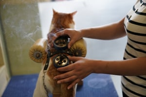 A cat receives moxibustion therapy, which consists of burning dried mugwort on parts of the body