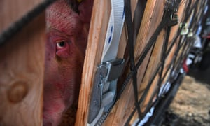 Breeding pigs on route from France to China